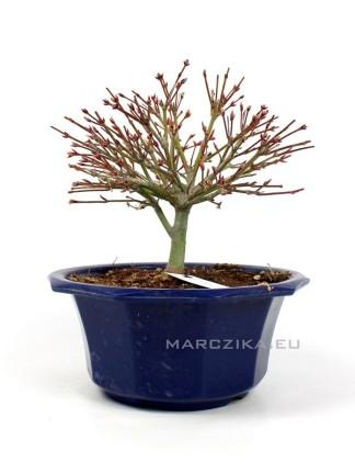Acer palmatum 'Kiyohime' - Momiji shohin bonsai alapanyag  Japánból 04.