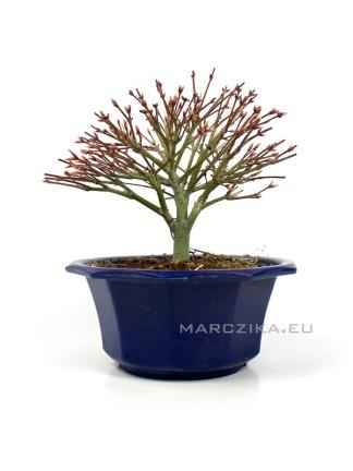 Acer palmatum 'Kiyohime' - Momiji shohin bonsai alapanyag  Japánból 05.