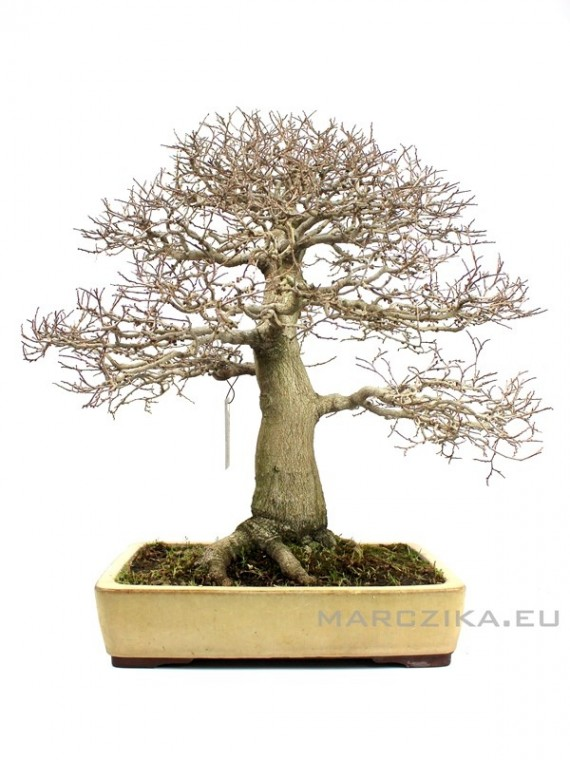 Celtis sinensis - chokkan stílusú japán bonsai