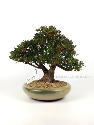 Rhododendron indicum 'Chinzan' japán bonsai 02.