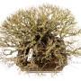 Ulmus parvifolia 'Corticosa' bonsai Japánból - Nire Keyaki