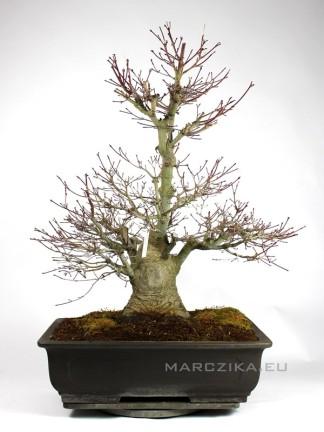 Japán juhar bonsai - Momiji Japánból