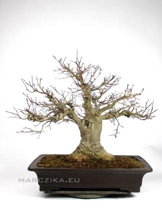 Momiji Japánból - Acer palmatum bonsai