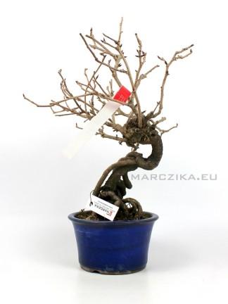 Kadsura japonica neagari bonsai Japánból 01.