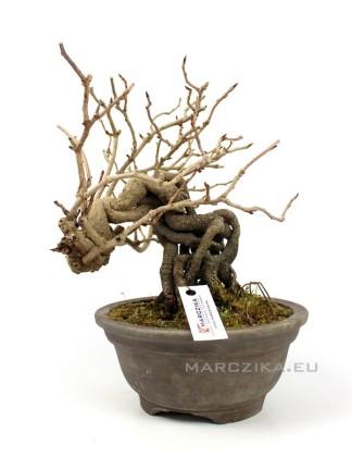 Kadsura japonica neagari bonsai Japánból 02.