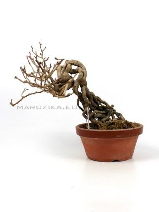 Kadsura japonica neagari bonsai Japánból 03.