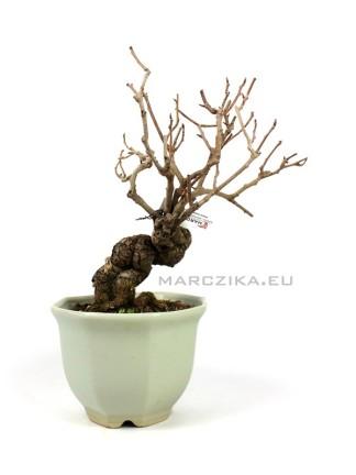 Kadsura japonica neagari bonsai Japánból 04.