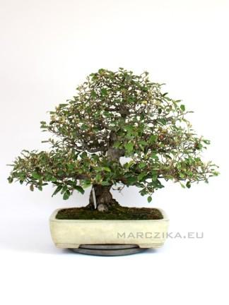 Elaeagnus pungens moyogi bonsai Japánból