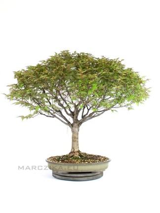 Zelkova serrata bonsai hokidachi stílusban
