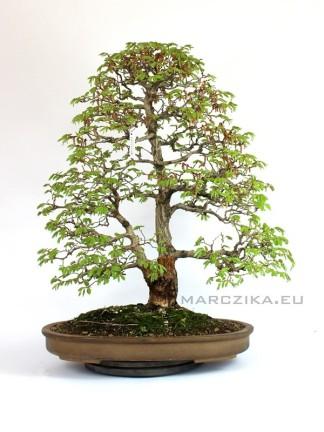 Carpinus coreana - Kóreai gyertyán bonsai Japánból