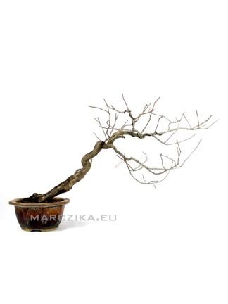 Diospyros kaki shakan - bunjin bonsai