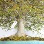 Zelkova serrata bonsai Japánból