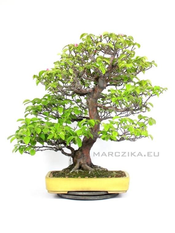 Pseudocydonia sinensis bonsai Japánból