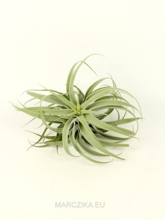 Tillandsia cacticola bright leaf XL