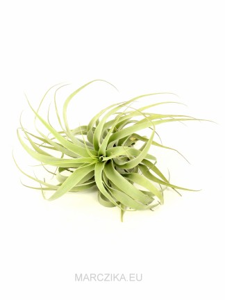 Tillandsia cacticola long form green XL