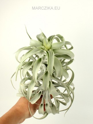 Tillandsia cacticola long form silver XL