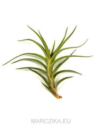 Tillandsia edithae x albertiana - kötözetlen
