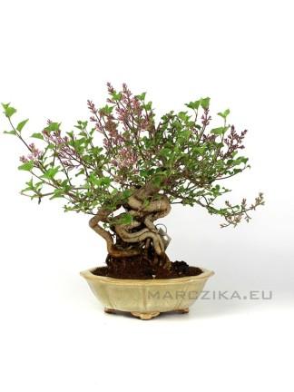 Syringa japán shohin bonsai