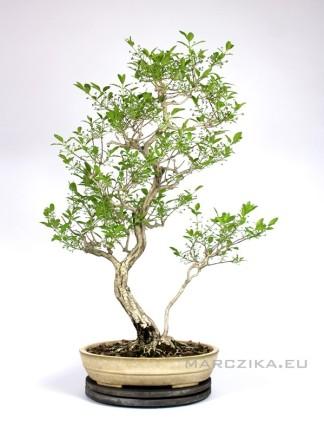 Japán Euonymus bonsai sokan stílusban