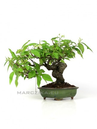 Photinia Sp - Japán shohin bonsai