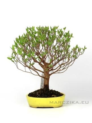 Stewartia Sp shohin bonsai Japánból
