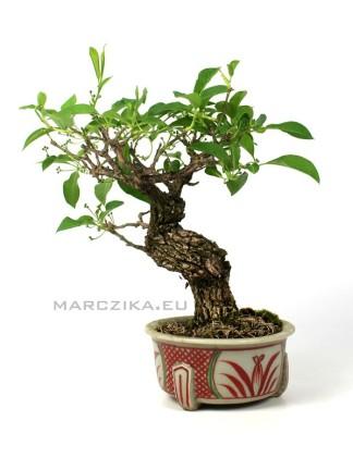 Euonymus japonicus japán shohin bonsai