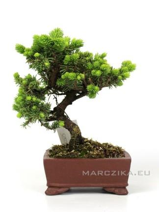 Picea jezoensis shohin bonsai Japánból 01.
