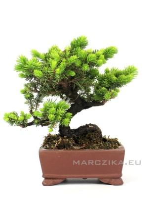 Picea jezoensis shohin bonsai Japánból 02.