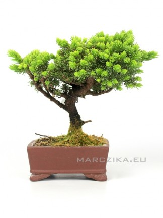 Picea jezoensis shohin bonsai Japánból 03.