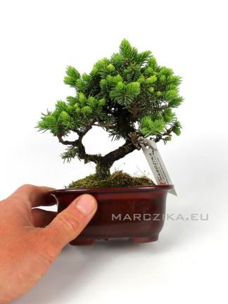 Picea jezoensis shohin bonsai Japánból 04.