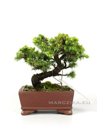 Picea jezoensis shohin bonsai Japánból 05.
