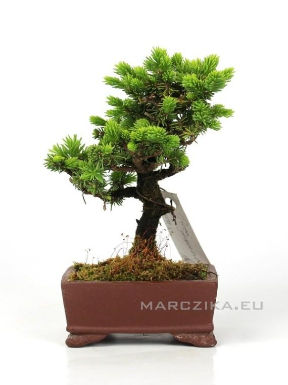 Picea jezoensis shohin bonsai Japánból 06.