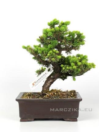 Picea jezoensis shohin bonsai Japánból 11.