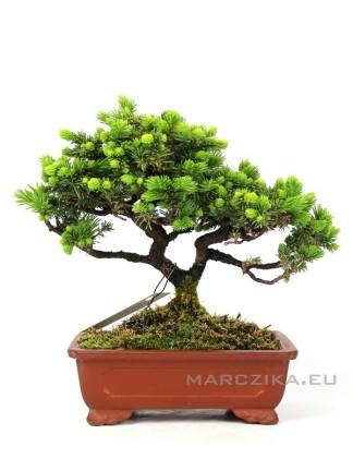 Picea jezoensis shohin bonsai Japánból 12.