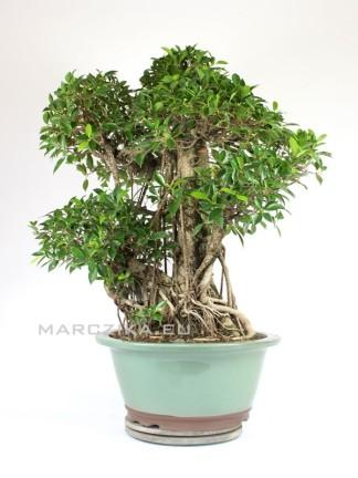 Szoba bonsai erős léggyökerekkel - Ficus retusa ( Gumifa ) 100 cm