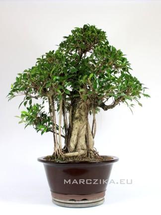 Szoba bonsai erős léggyökerekkel - Ficus retusa 100 cm ( Gumifa )