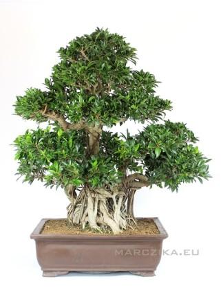 Nagy méretű bonsai - Ficus retusa 116 cm