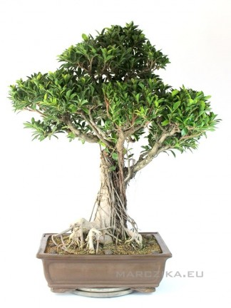 Nagy méretű bonsaj - Ficus retusa 110 cm