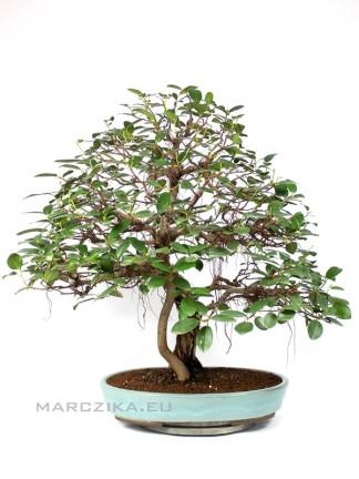 Ficus rubiginosa bonsai a nyolcvanas évekből