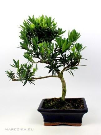 Podocarpus macrophylla - Kőtiszafa 15 S bonsai