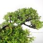 Ishitsuki japán bonsai kompozíció