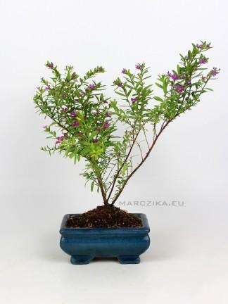 Cuphea hyssopifolia - Japánmirtusz bonsai