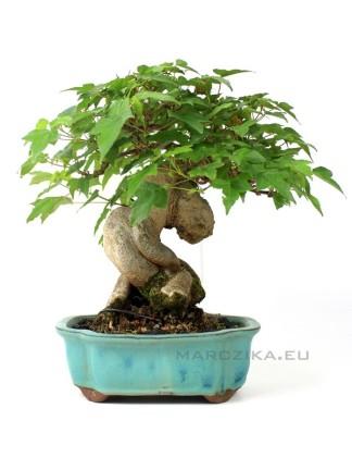 Acer buergerianum - Háromerű juhar shohin bonsai