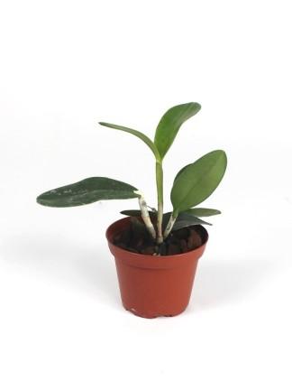 Cattleya Memoria Bleui ( cattleya granulosa x aclandiae)