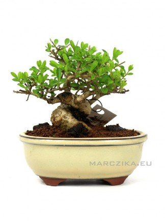 Ligustrum japonica shohin bonsai 11.