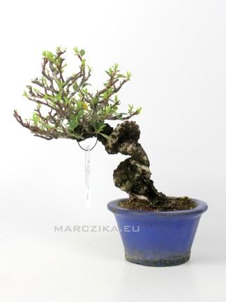 Pyracantha sp japán shohin bonsai 3.