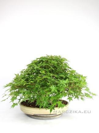 Momiji bonsai - Acer palmatum Japánból