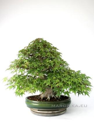 Momiji - Acer palmatum bonsai Japánból