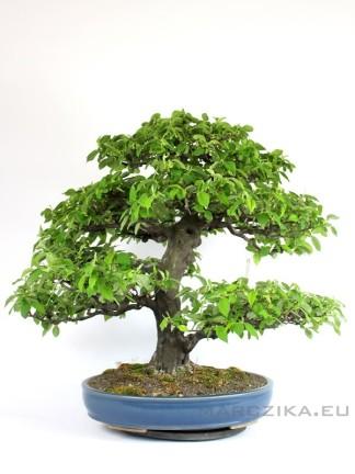 Psudocydonia bonsai Japánból