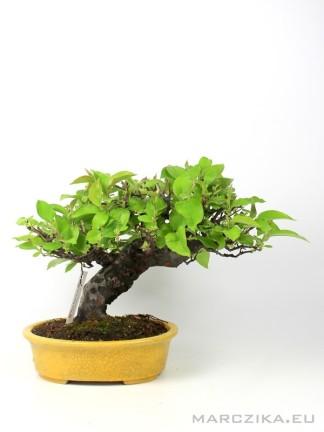 Pseudocydonia chinensis bonsai - japán shohin